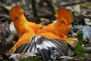 coq de roche orange male