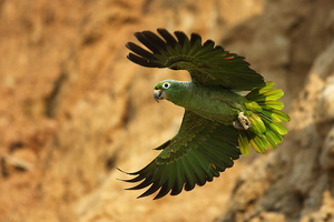 amazone poudree***Mealy Parrot
