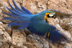 ara bleu .***Blue and Gold Macaw