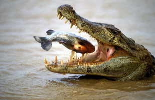 caiman a lunette mangeant un pirahna a ventre rouge***Spectacled Caiman eating a Red bellied piranha
