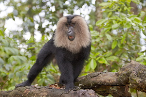 MACAQUE A QUEUE DE LION