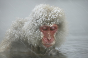 Macaque du Japon