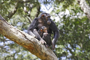 chimpanze. Mere avec baby***Chimpanzee . Mother with baby