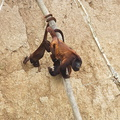 singe hurleur mangeant de l'argile***Red Howler Monkey eating cl