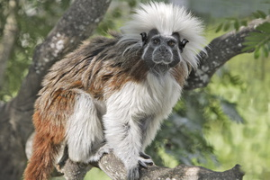Tamarin pinche ***Cotton-top Tamarin