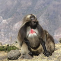 Gelada .male***Gelada Baboon. Male