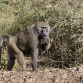 babouin olive . Femelle et jeune ***Olive Baboon female and youn