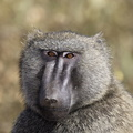 babouin olive male.***Olive Baboon.Male