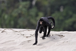 atele noir***Black Spider Monkey