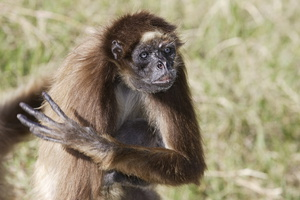 Gibbon . Atele belzebuth ***White-bellied Spider Monkey
