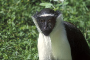 cercopitheque diane . male***Diana Monkey . male