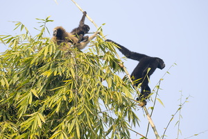 GIBBON HOLOCK