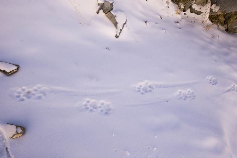 2019 02 SNOW LEOPARD WEST MONGOLIA-4103.jpg