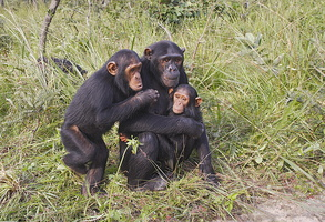 chimpanze.mere et petit ***Chimpanzee / mother and baby