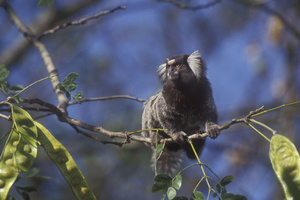 Ouistiti a toupet blanc ***Common Marmoset