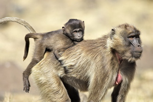 Gelada .mere et petit***Gelada Baboon . mother and young